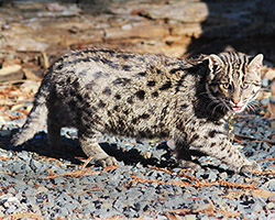 Photo of Bandhu,our Fishing Cat
