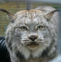 Photo of Cree, our Canada Lynx