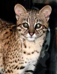 Photo of Guarani,our Geoffroy's Cat