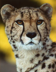 Photo of Kamau,our Cheetah