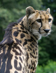 Photo of Kgosi, our King Cheetah