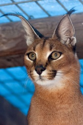 Photo of Moremi,our Caracal