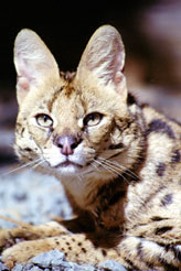 Photo of Nakuru,our Serval