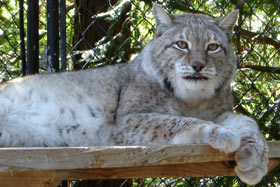 Photo of Tatiana, our Siberian Lynx