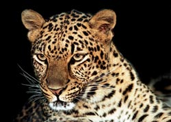 Photo of Umfazi, our African Leopard
