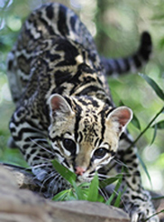 Photo of Chachi, our Ocelot