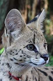 Photo of Zuri,our Serval